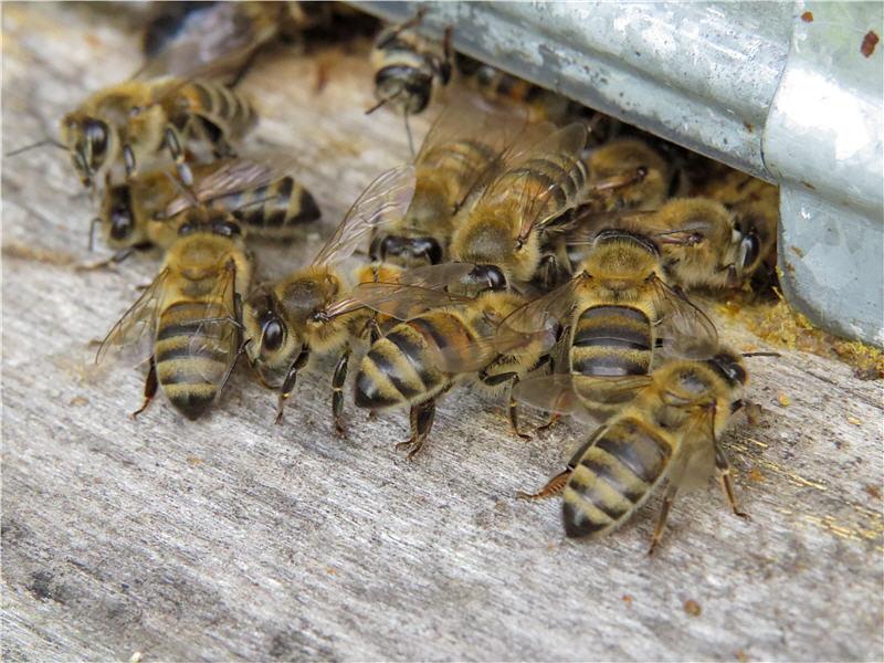 Пчелиное воровство