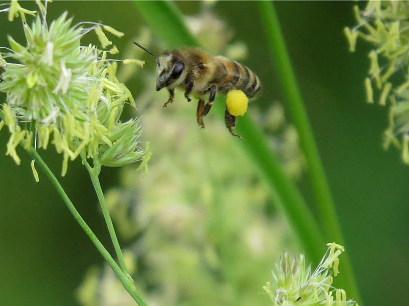 Пчела подлетает к цветку