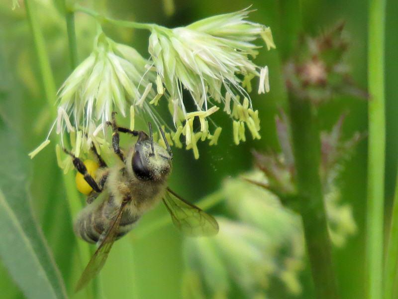Пыльца мятлика летит
