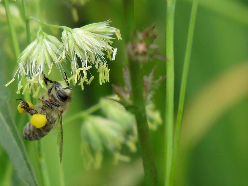 Пчела формирует пыльцу
