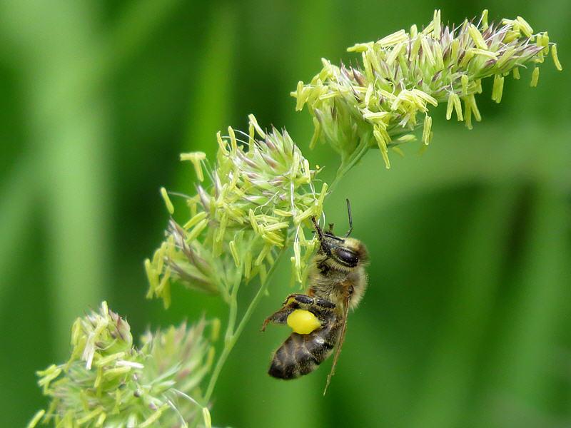 Пчела на цветках мятлика
