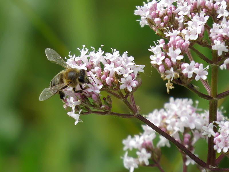 Пчела на цветках валерианы
