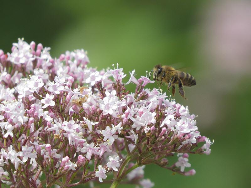 Пчёлы на цветках валерианы лекарственной