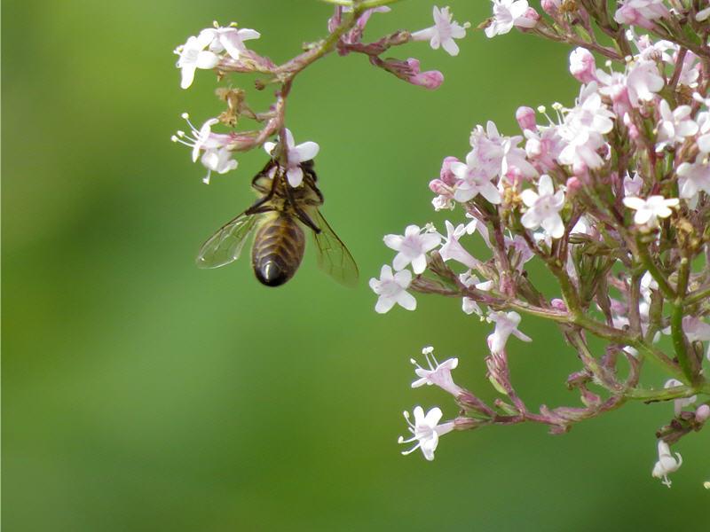 Валериана лекарственная и пчела медоносная