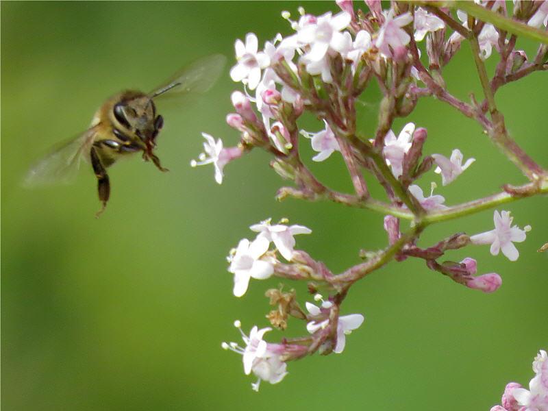 Полёт пчелы около цветков валерианы