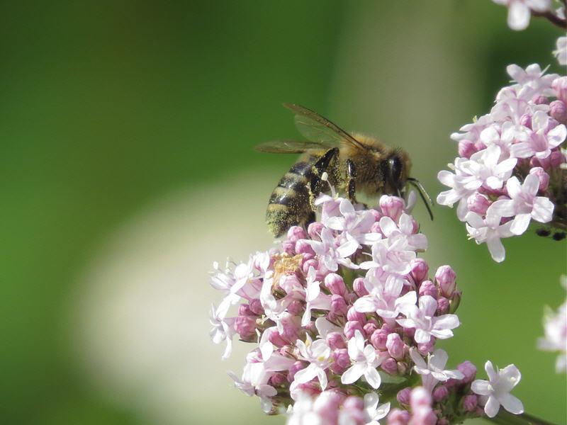 Сбор валерианового мёда