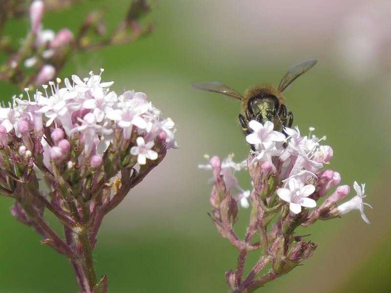 Валериана лекарственная и пчёлка