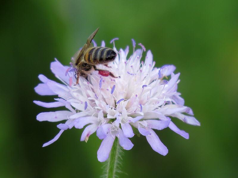 Пчела собирает нектар на цветке