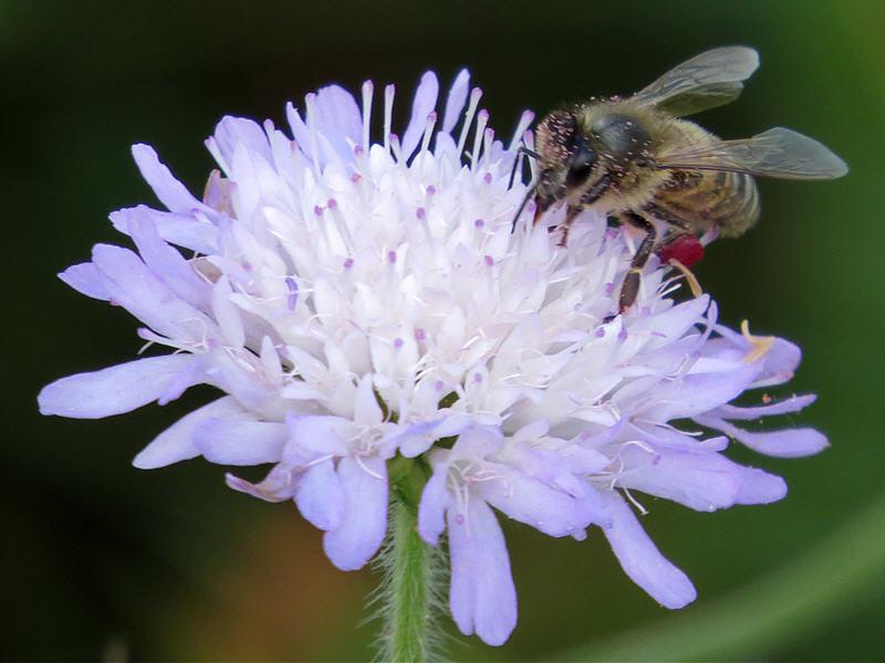 Пчела в пыльце короставника