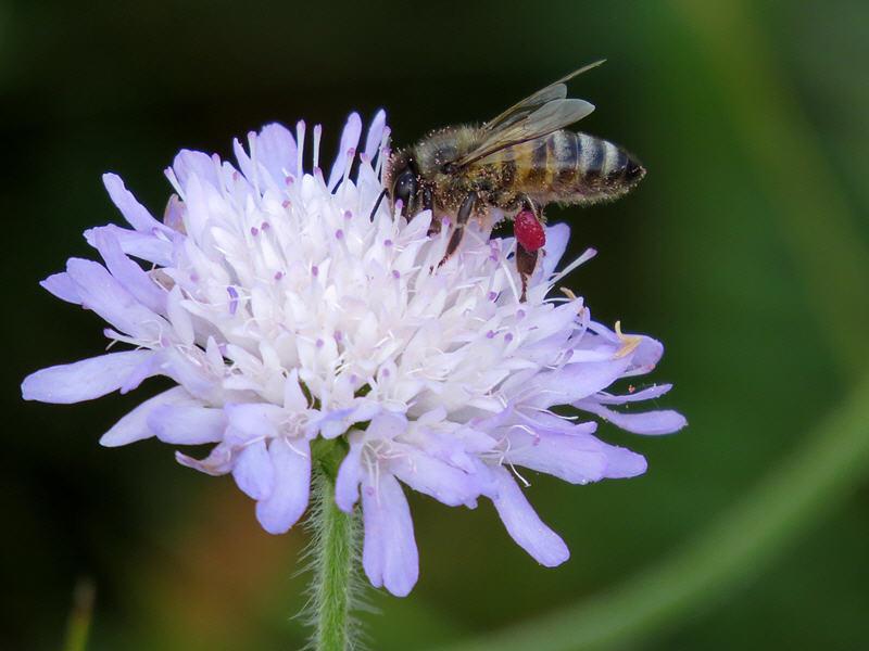 Пчела с красной обножкой
