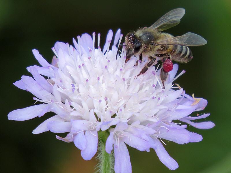 Пчела на цветке короставника полевого