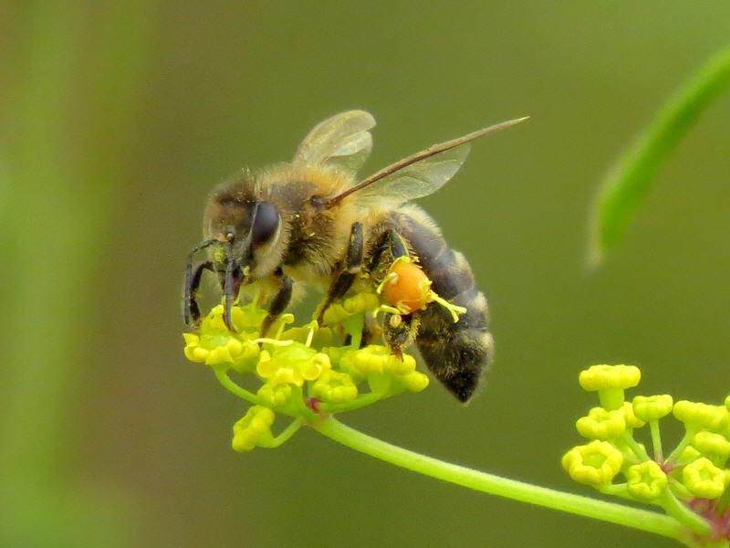 Пчела на цветке пастернака дикого