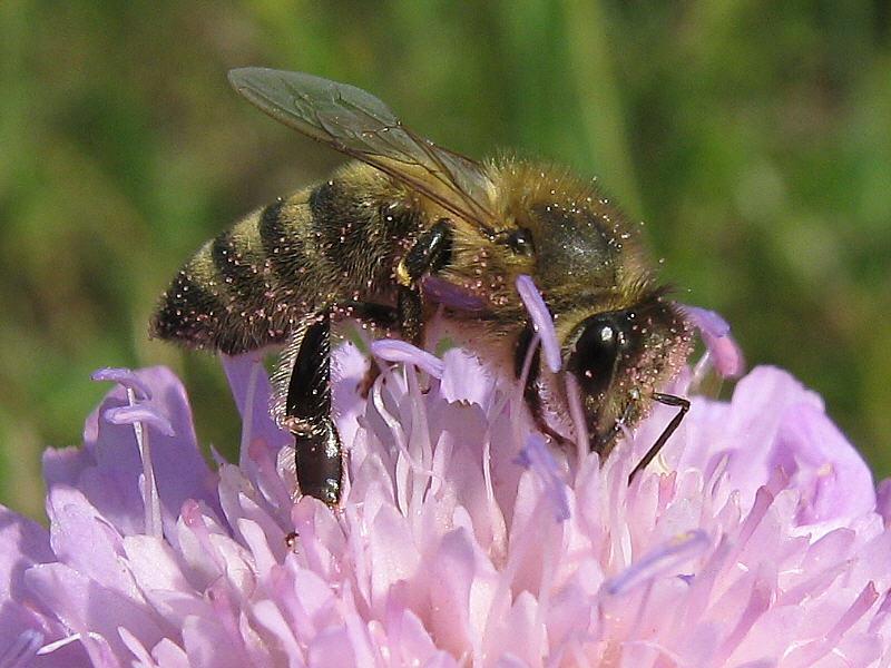Пыльца короставника крупная