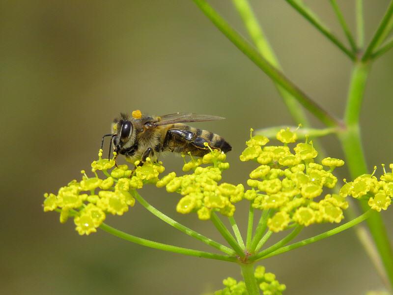Пчела на цветках пастернака