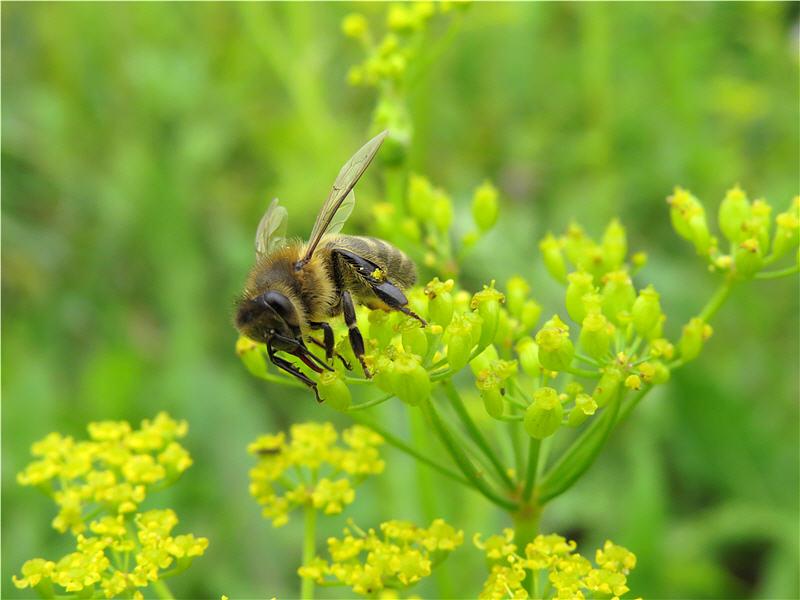 Пчела на цветках пастернака лесного