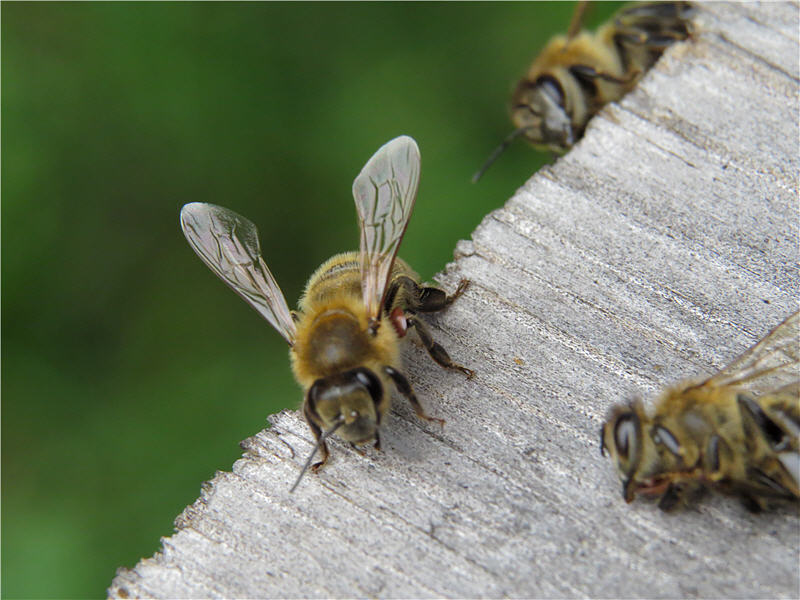 Клещ Варроа на ноге пчелы