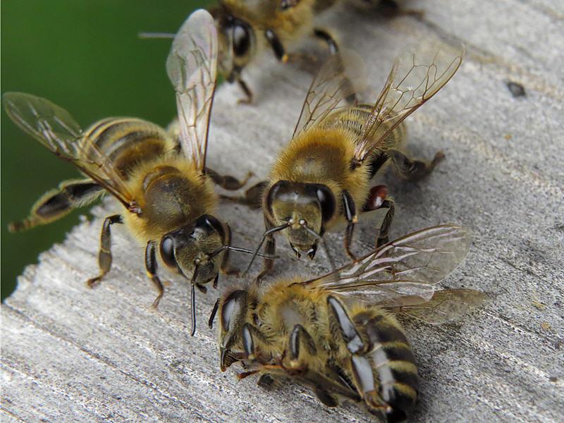 Клещ переходит на другую пчелу