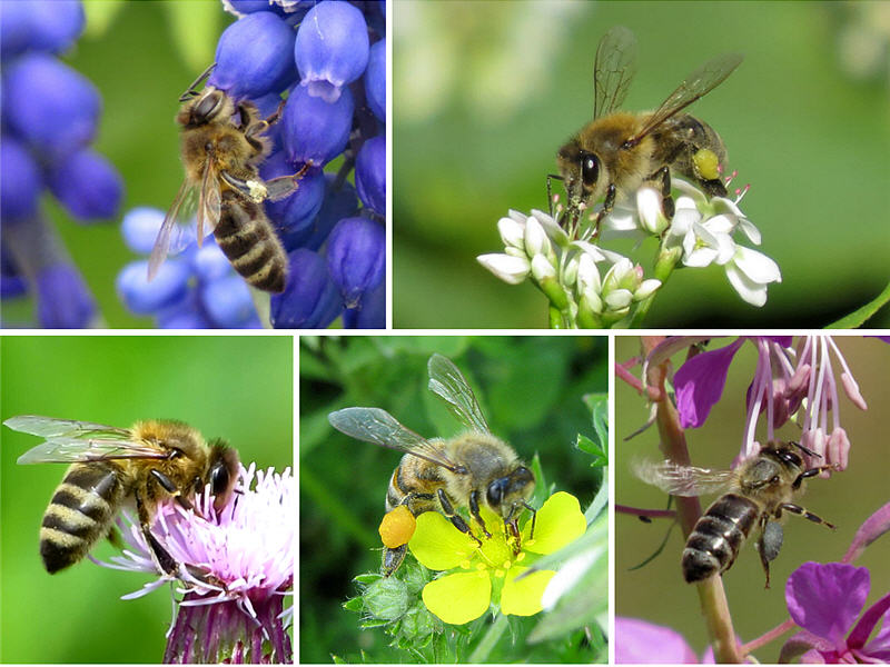 Пчёлы на цветках растений