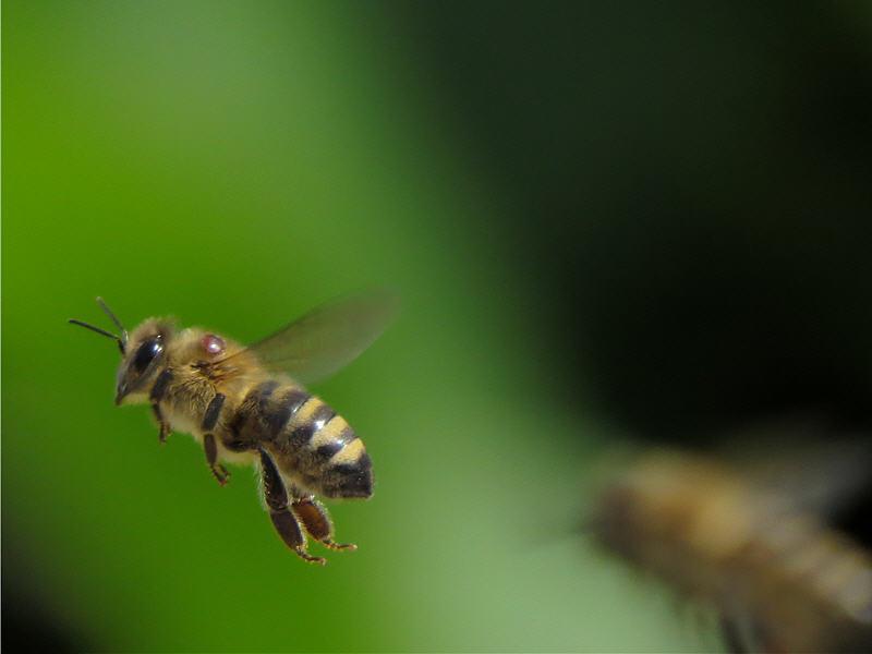 Клещ Варроа на теле летящей пчелы