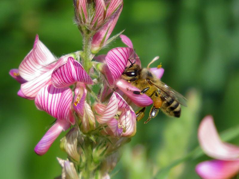 Пчела на цветке эспарцета песчаного