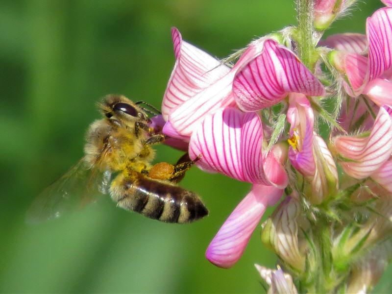 Пчела на цветке эспарцета