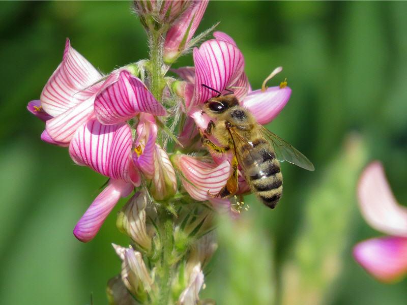 Пчела за работой на цветке эспарцета