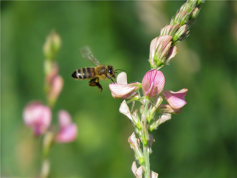 Подлёт пчелы к цветку эспарцета