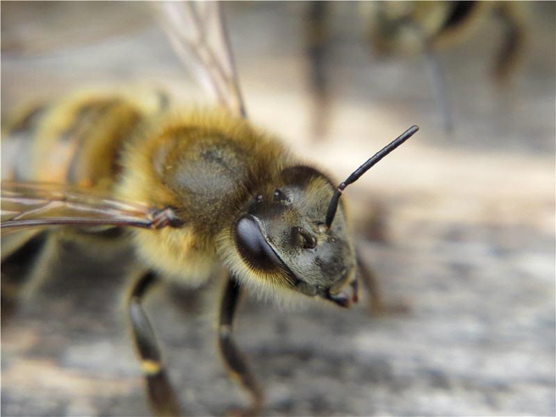 Зрение медоносных пчёл