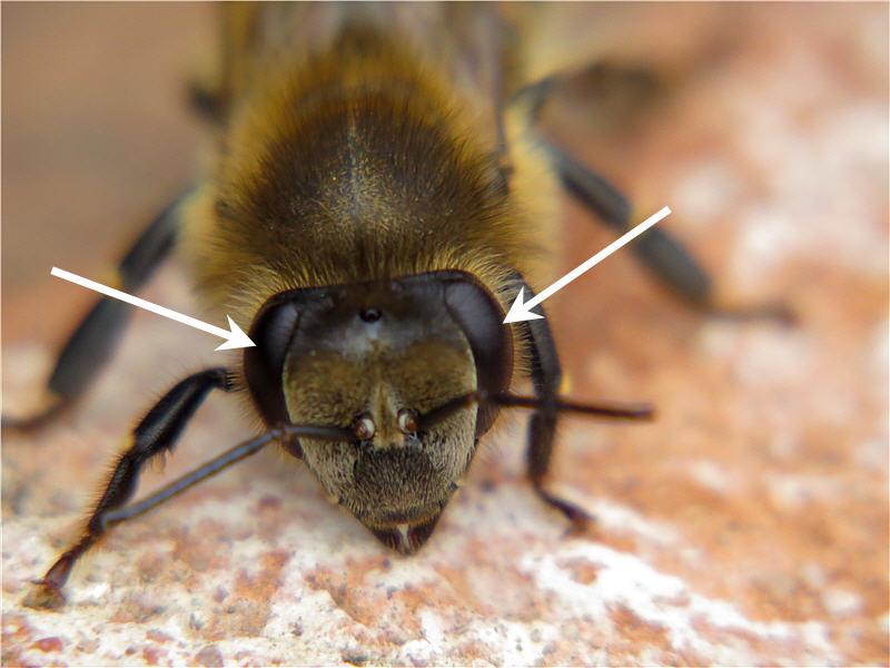 Сложные глаза пчелы