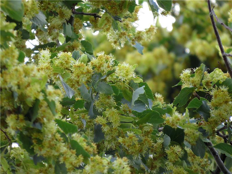 Цветение липы в Башкирии