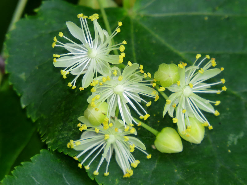 Цветки липы мелколистной