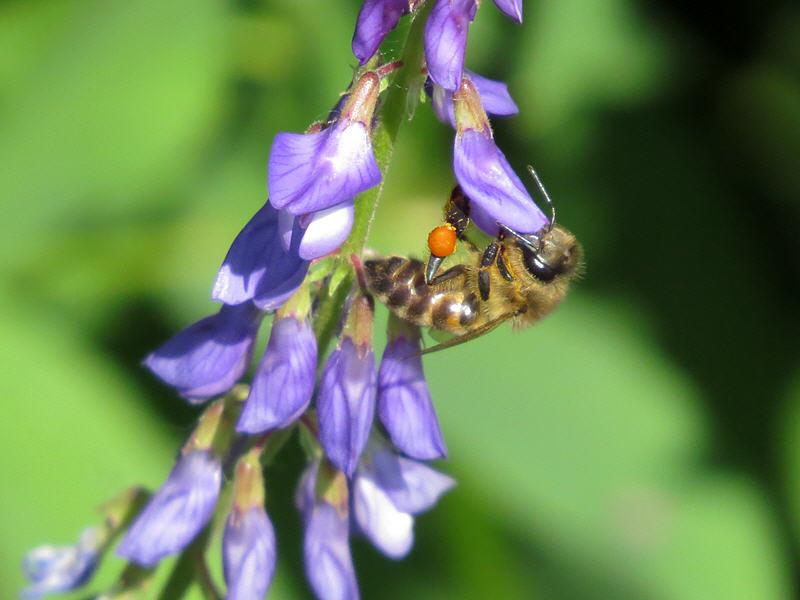 Козлятник даёт нектар и пыльцу