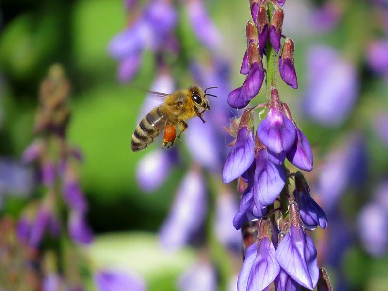 Пчела на цветках козлятника восточного