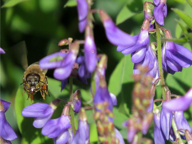 Пчела чистит язычок