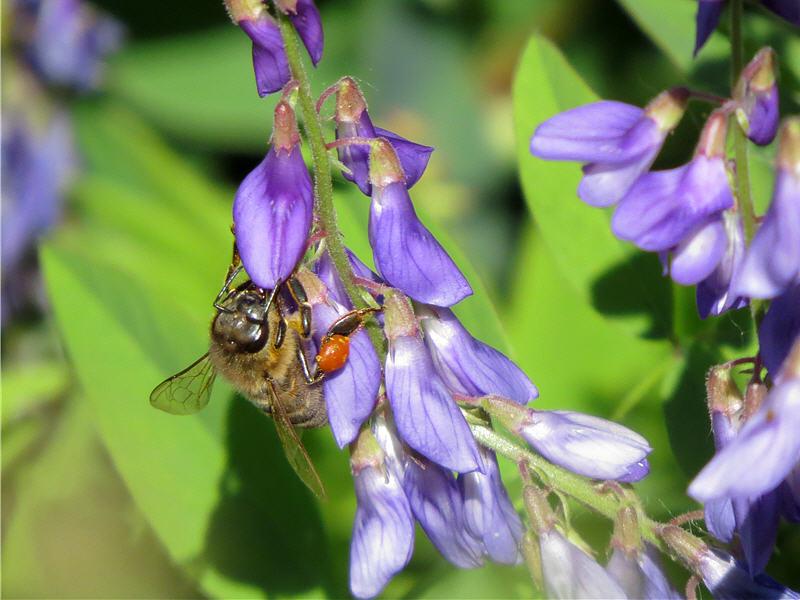 Медоносная пчела на цветке фото