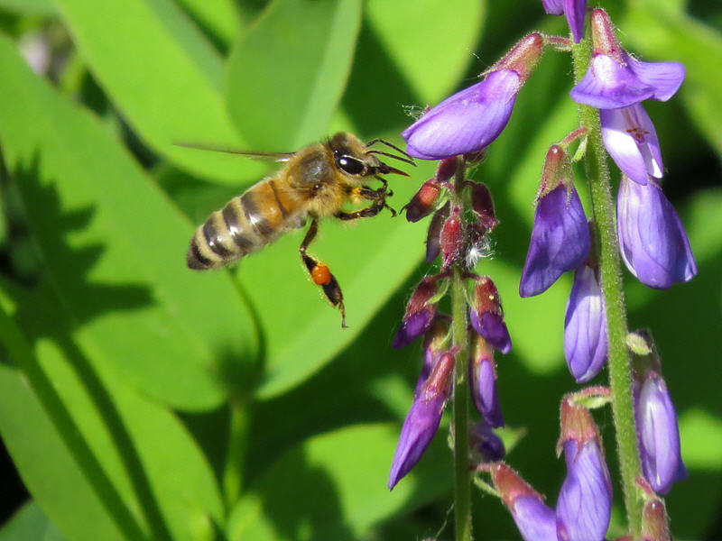 Пчела выбирает цветок