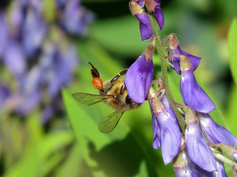 Пыльца-обножка на ножке пчелы