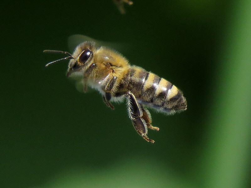 Макрофотография пчелы: диафрагма f/6.5, выдержка 1/1600 с., ISO-640, фокусное расстояние 215 мм