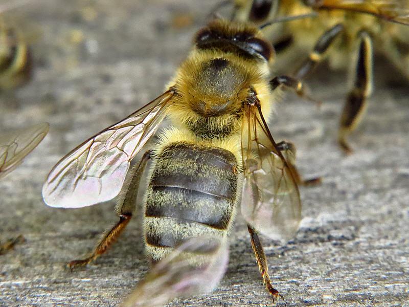 Спина пчелы