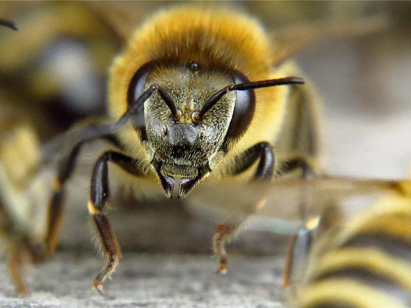 Лицо пчелы