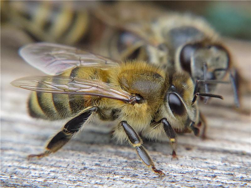 Макроснимок медоносной пчелы