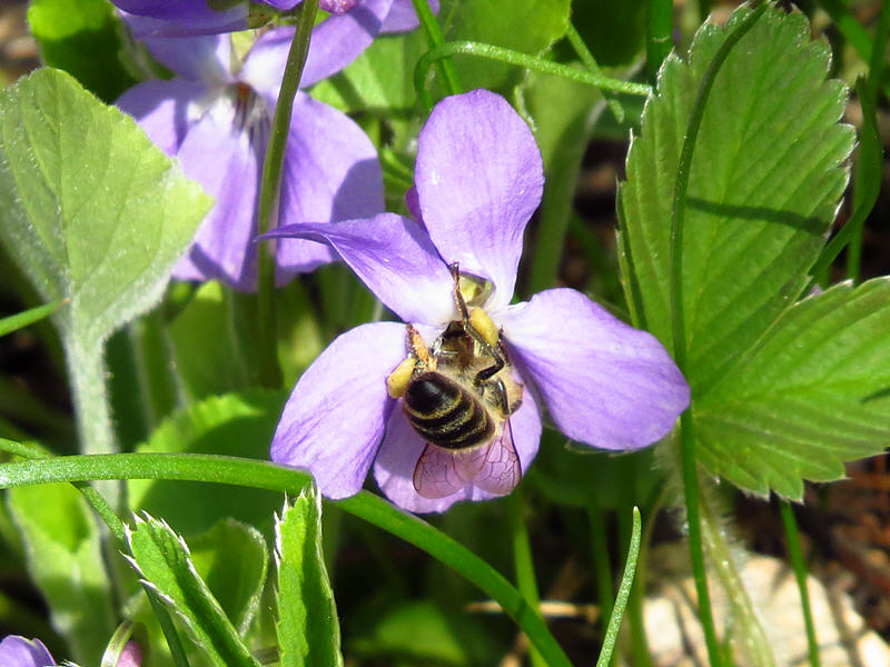 Пчела на цветке фиалки опушённой