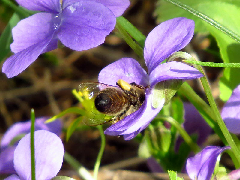 Вся в работе пчёлка золотая!