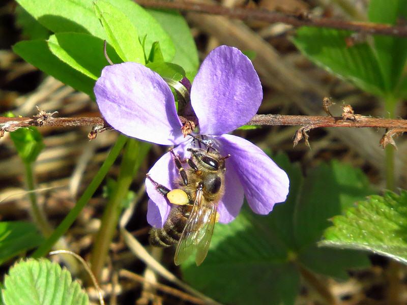 Цветок фиалки и медоносная пчела