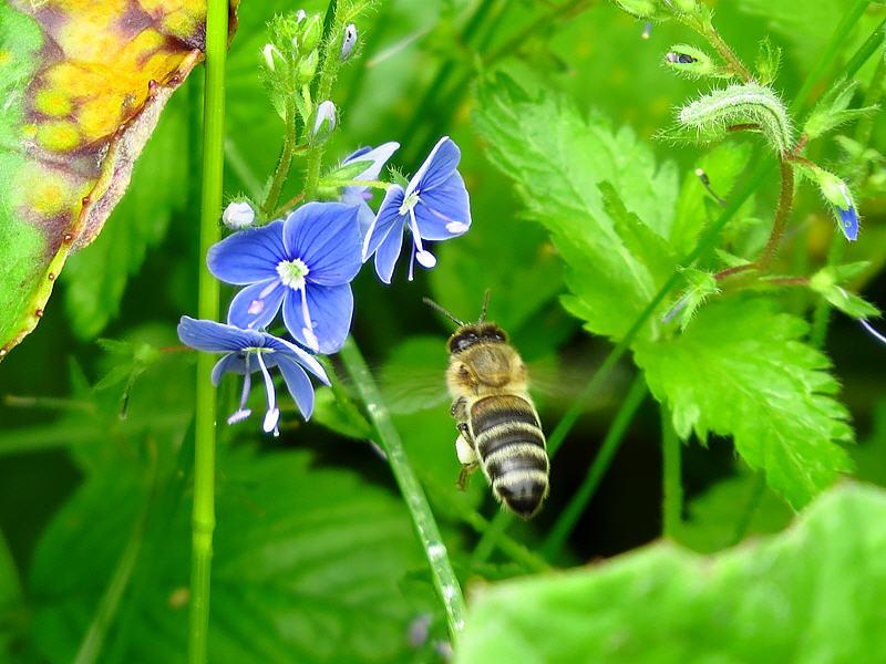 Выбор пчелы - синий цветок