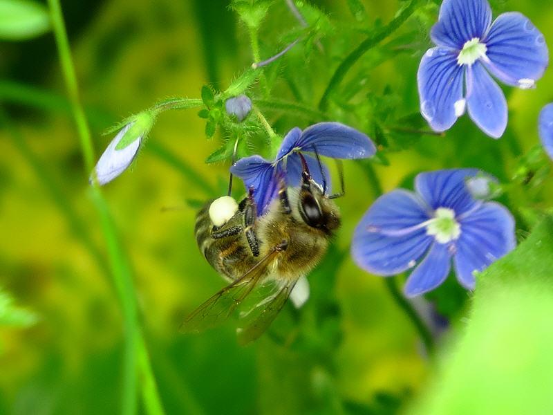 Пчела на цветке вероники дубравной