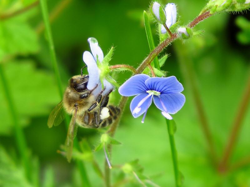 Медоносная пчела за работой