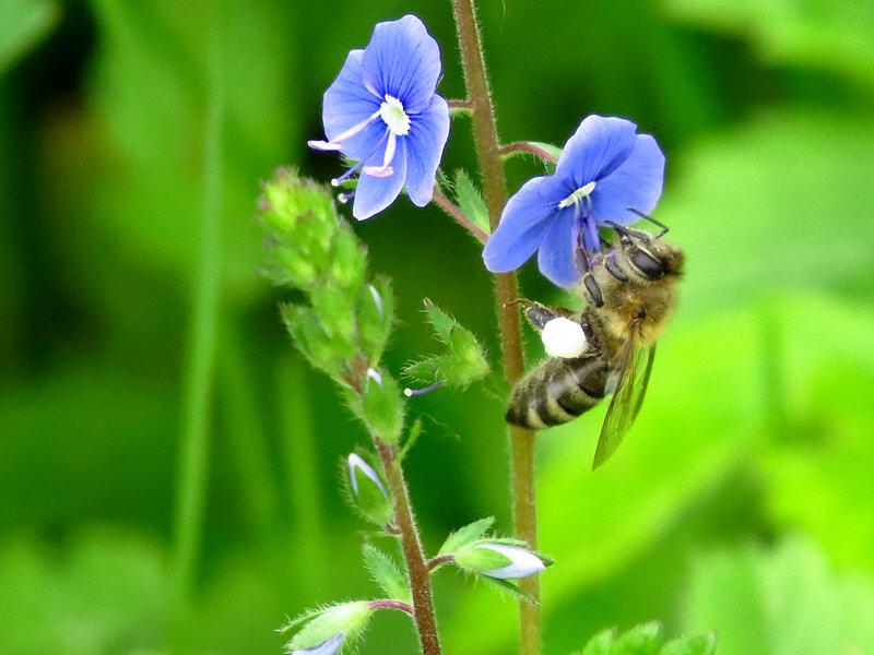 Пчёлы на цветках вероники дубравной