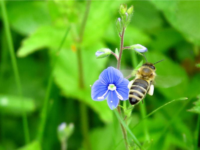 Цветок вероники и пчела