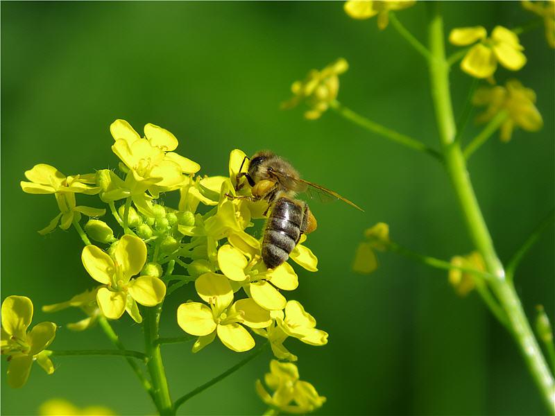 Активный сбор цветочной пыльцы